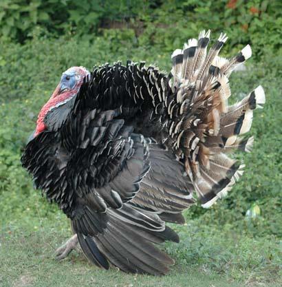 File:Turkey.jpg