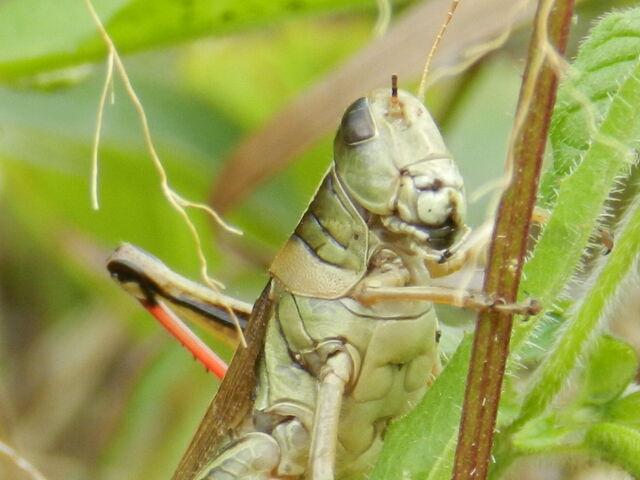 File:User-DarkDrake88-grasshopper.jpg