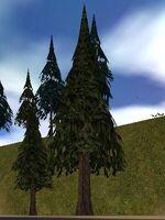 Fir Tree Live