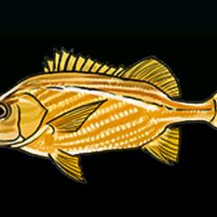 法国石鲈 - 稀有度:普通,尺寸:小