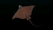 White-SpottedEagleRayACP