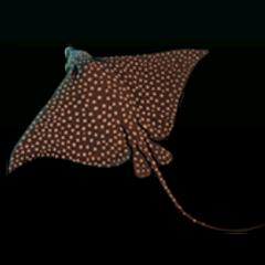 White-spotted Eagle Ray - 稀有度:非常稀有,尺寸:大