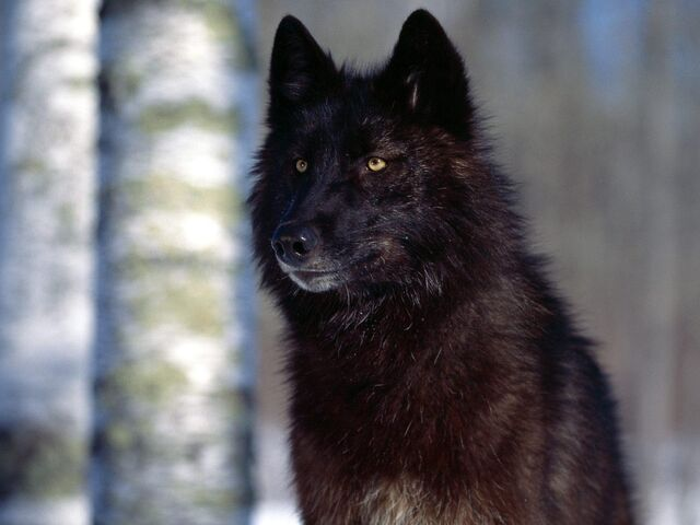 File:Predatory-Eyes-Black-Wolf-1.jpeg