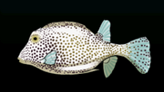 SpottedTrunkfishACP