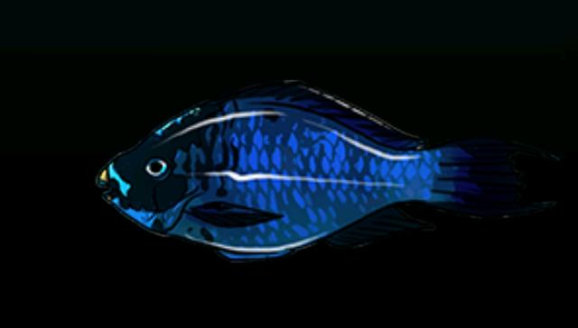 File:MidnightParrotfishACP.png
