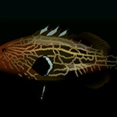 黑石斑鱼 - 稀有度:非常稀有,尺寸:大