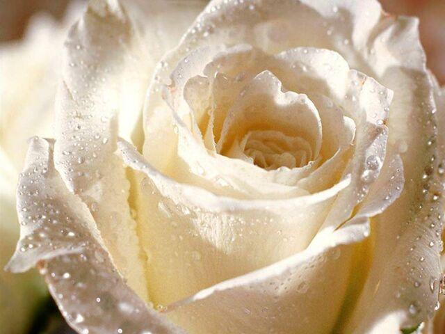 File:White Rose.jpg