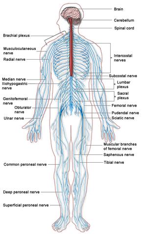 File:Nervous system.png