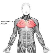 Pectoralis major2