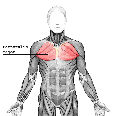 File:Pectoralis major2.png