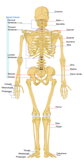 skeletal system | athlepedia, the athletics wiki | fandom powered, Human Body