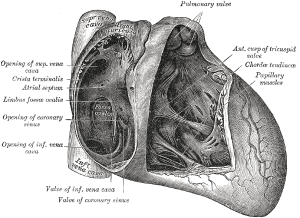 File:Grays heart.png