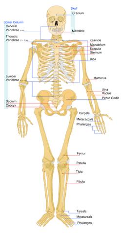 File:Skeleton front.png