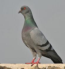 File:220px-Blue Rock Pigeon (Columba livia) in Kolkata I IMG 9762.jpg