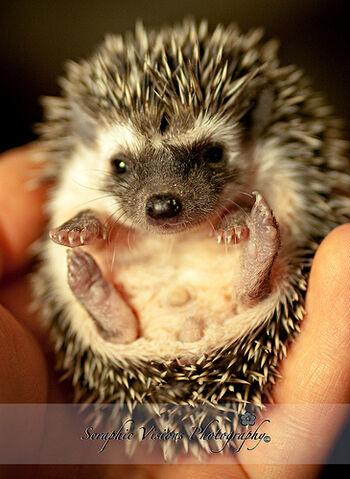 File:Baby Hedgehog 5.jpg