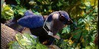 Blue Jay Blues