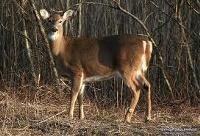 File:200px-Deer.jpg