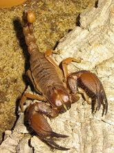 Burrowing scorpion.JPG