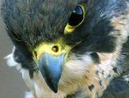 Peregrine-falcon-closeup