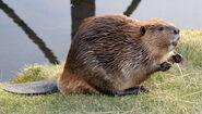 Az beaver