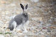 969 1arctic hare summer coat