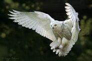 Snow owl-wings