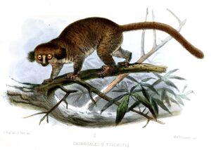 Hairy-eared dwarf lemur