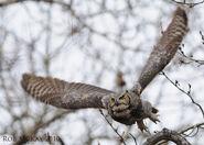 Great-horned-owl-flight