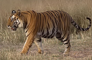 File:Tigerramki.jpg