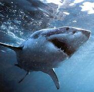 Shark-small