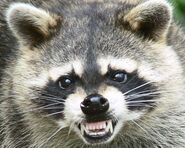 Raccoon (2)