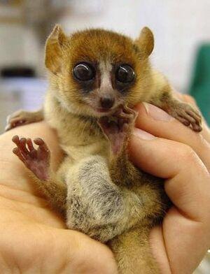 MacArthur's mouse lemur