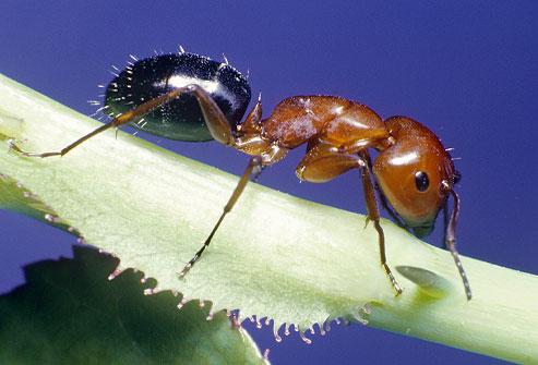 File:Fire Ant.jpg