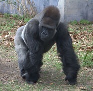 Western lowland gorilla (4531337254)