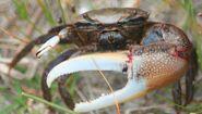 Brackish-water fiddler crab ocracoke 51106