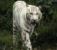 Best-Rare-White-Tiger-Wallpapers12