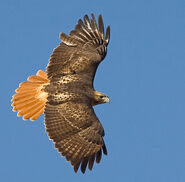 Red-tailed-hawk-02-san-juan-islands-washington