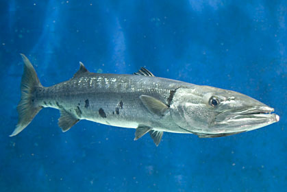 File:Great Barracuda.jpg