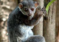 Grewcock's sportive lemur