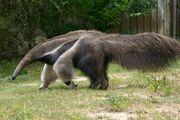 Anteater-5