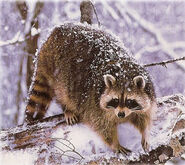 Raccoon (3)