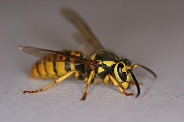 File:Wasp (2).jpg