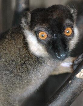Gray-headed lemur