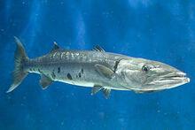 Great Barracuda-0