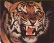 Angry-Bengal-Tiger