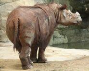 SumatranRhino3 CincinnatiZoo