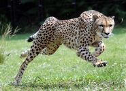 Large cheetah