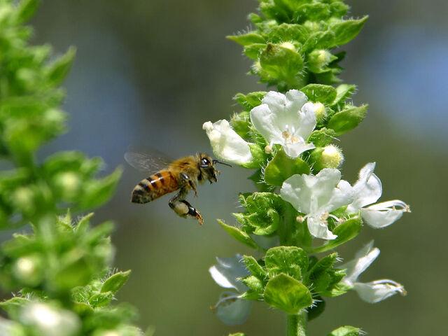 File:Bee pd6.jpg