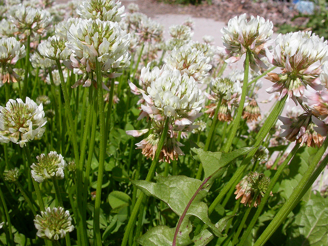 File:White Clover.jpg
