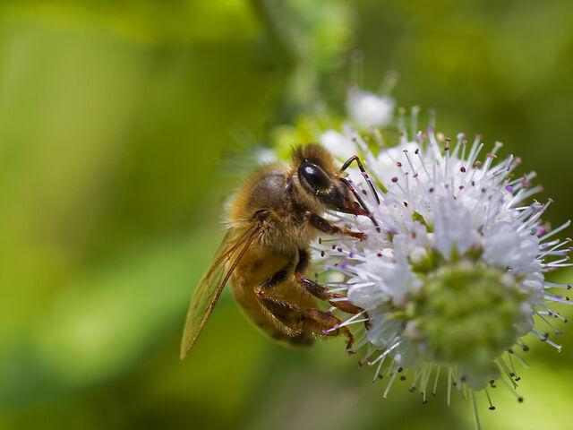File:Bee pd9.jpg